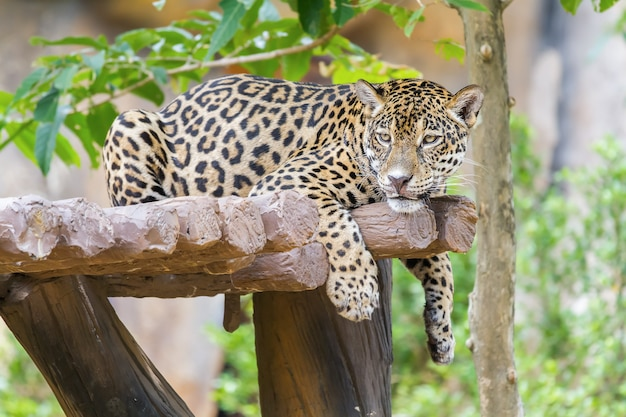 Leopard lying on the tree in the forest