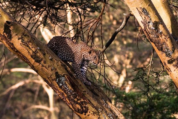Леопард на дереве в засаде. африка