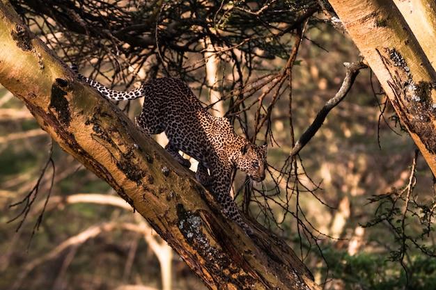 Леопард на дереве в засаде. быстрая атака. кения