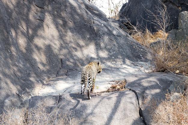 Леопард на скале. национальный парк серенгети, танзания