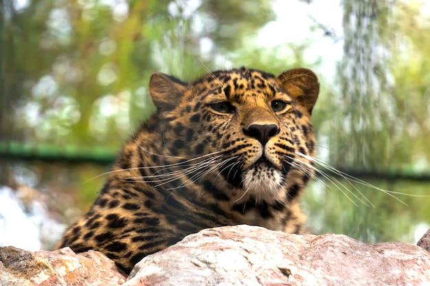 ヒョウオンザロック。極東のヒョウは、ヒョウの亜種の1つであるネコ科の肉食性哺乳類です。現在、アムールヒョウは絶滅の危機に瀕しています。