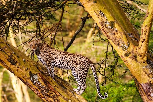 Леопард на дереве. кенийские взгляды, африка