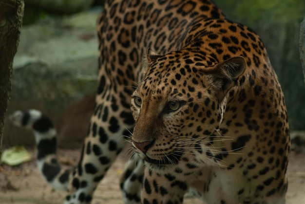 Leopard, panthera pardus, big spotted cat lying on the tree in the nature habitat, thailand