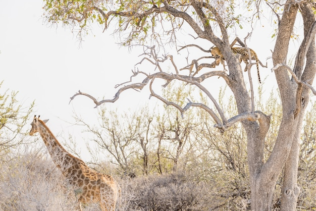 Leopard perching on acacia tree branch against white sky. giraffe walking undisturbed. wildlife safari in the etosha national park, main travel destination in namibia, africa.