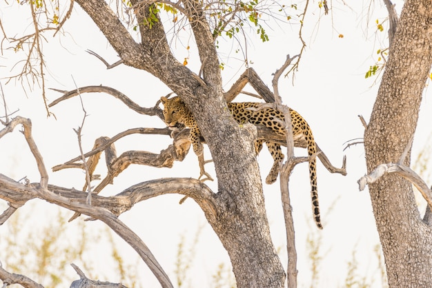Leopard perching from acacia tree branch against white sky. wildlife safari in the etosha national park, main travel destination in namibia, africa.