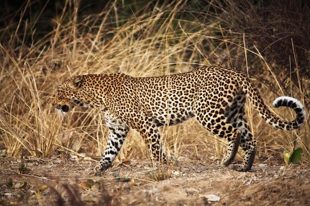 Leopard portrait walk in savana