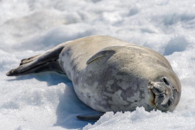 남극 대륙에 눈이 해변에 레오 파 드 인감