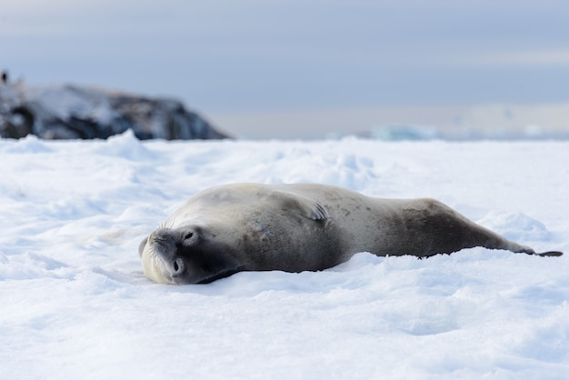 南極の雪とビーチでヒョウアザラシ Premium写真