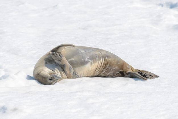 남극 대륙에 눈이 내리는 해변의 표범 바다표범