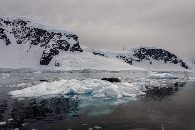 氷のヒョウアザラシ