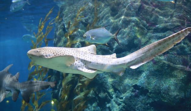 青い水の中を泳いでいるヒョウザメ(zebra shark)。