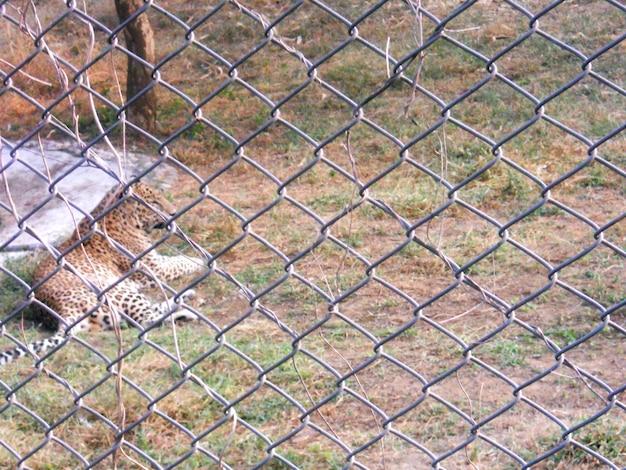 Леопард сидит за сеткой в зоопарке