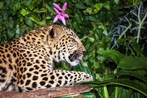 Леопард спит в джунглях крупным планом