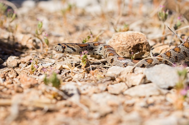 マルタの岩や乾燥した植生を滑るヒョウモンナゲヘビまたはヒョウモンナチョウ、zamenis situla