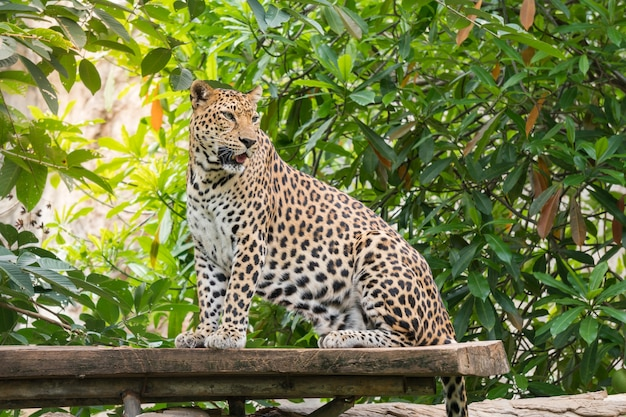 Leopard standing on the tree in zoo