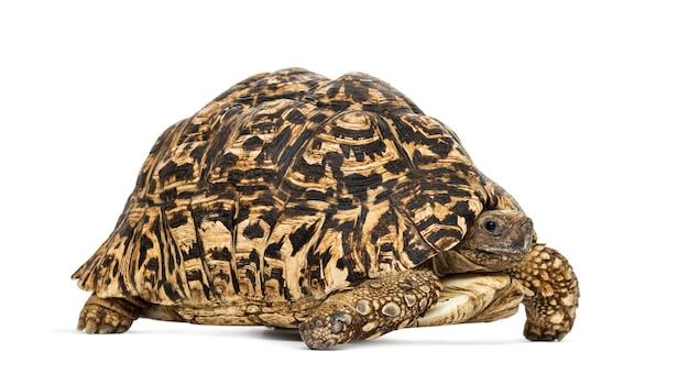 Leopard tortoise, stigmochelys pardalis, in front of white