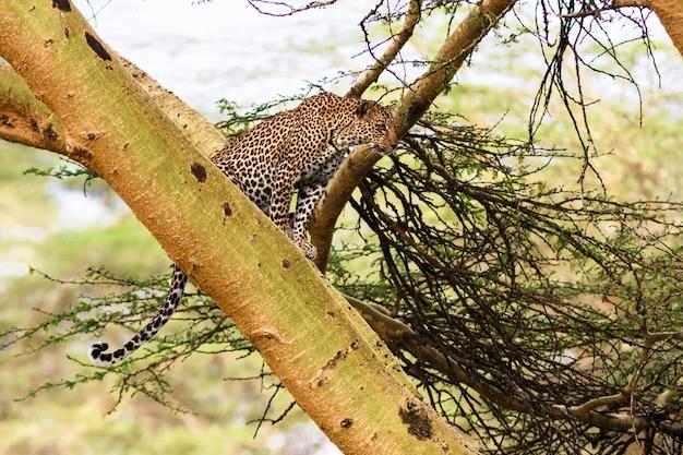Леопард ждет добычу. засада. на дереве. кения