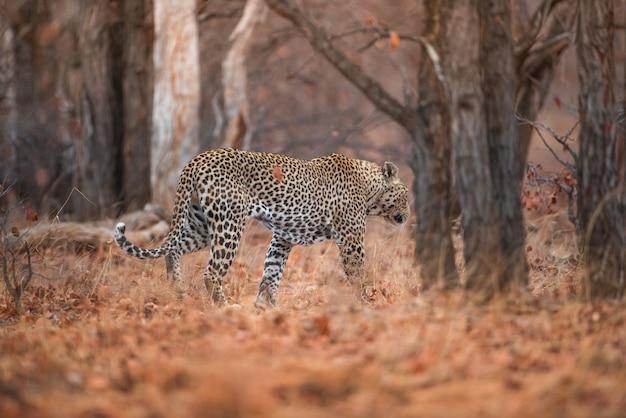 Leopardo che cammina nella foresta