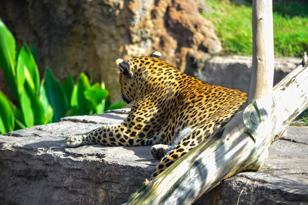 Leopard watching from a rock