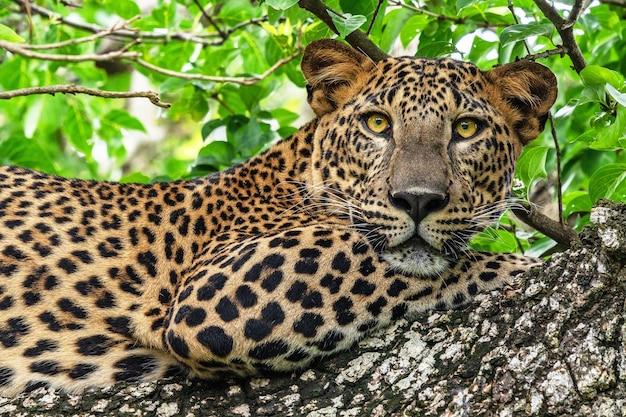 スリランカのヤラ国立公園のジャングルの木に横たわるヒョウの野生動物。
