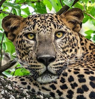 ヒョウの野生動物の肖像画をクローズアップ