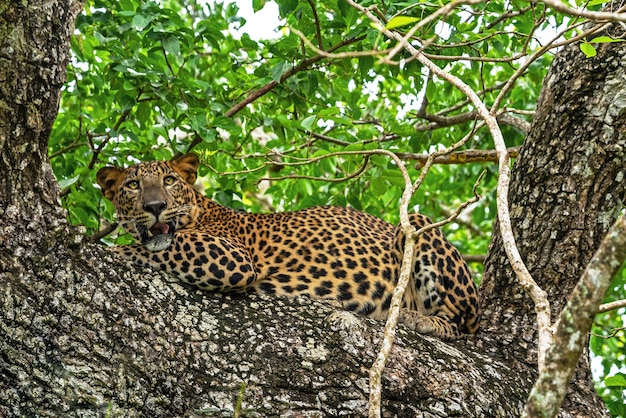 Leopard wild panther snarling animal laying on the tree in jungle