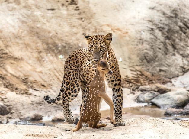 獲物とヒョウは林道を歩いています