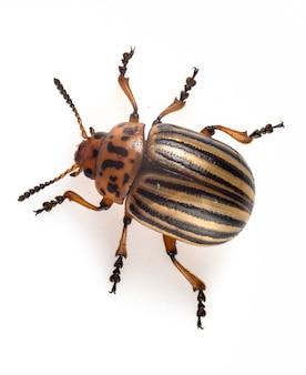 Leptinotarsa decemlineata colorado potato beetle is a serious pest of potatoes, tomatoes, eggplants.