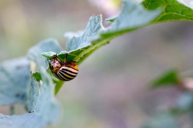 コロラドハムシleptinotarsa decemlineataジャガイモの葉の上でクロール