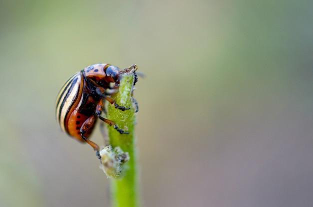 Колорадский жук leptinotarsa decemlineata ползет по листьям картофеля