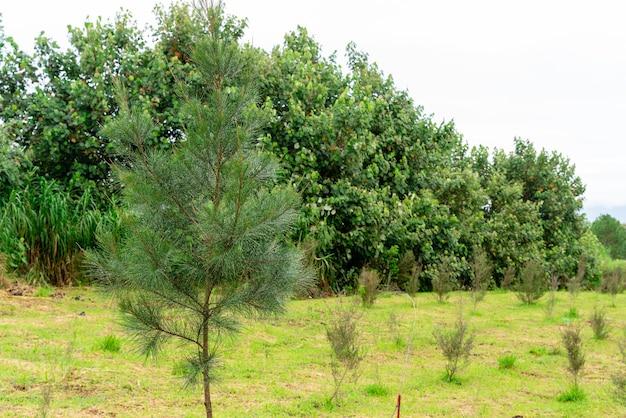 一般的にマヌカと呼ばれるleptospermumscopariumは、オーストラリア南東部とニュージーランドから来ています
