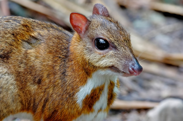 Lesser mouse-deer tragulus kanchil