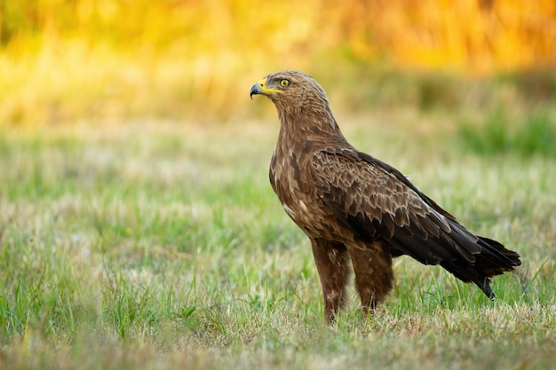 Lesser spotted eagle in a field