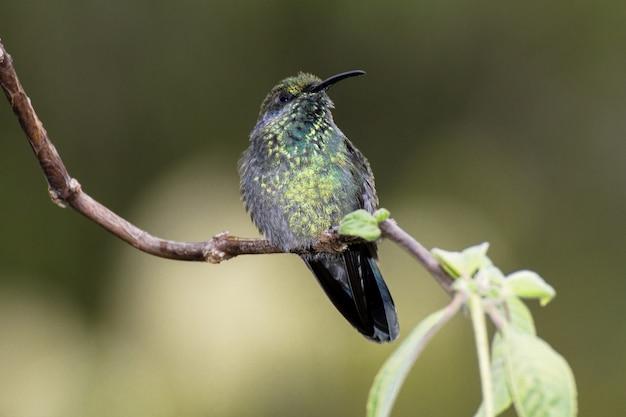 Малый лиловый, colibri cyanotus, ранее зеленый лиловый,