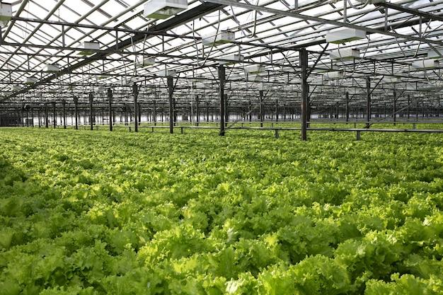 Салат-латук выращивают в теплице для экспорта на рынок. интерьер гидропонной фермы.