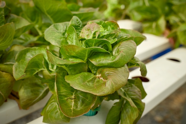Lettuce in the hydroponics farm