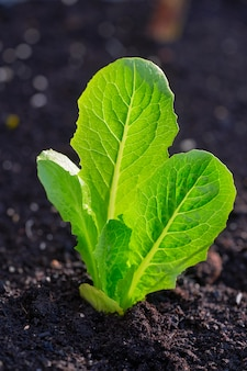 Lettuce plant from seedlings in an orchard
