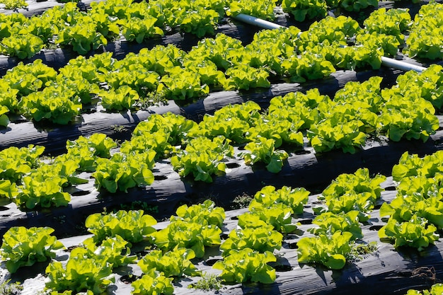 Lettuce plantation overview