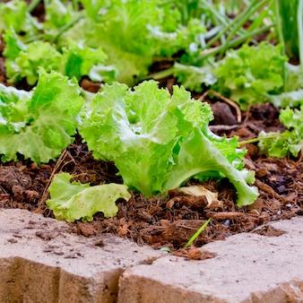 Посадка салата n сад без остатка пестицидов