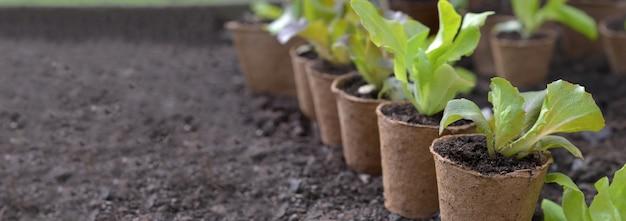이탄 냄비에서 자라는 양상추 모종이 왼쪽에 빈 공간이있는 정원의 흙에 놓였습니다.