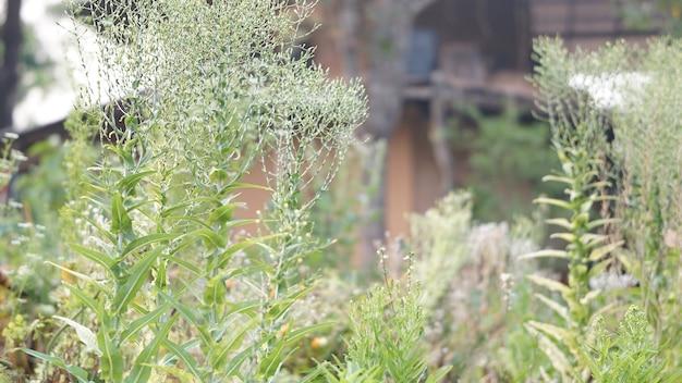 種を集めるために庭の農場で育つレタス野菜
