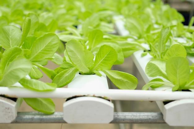 水耕栽培農場の苗床で育つレタス野菜