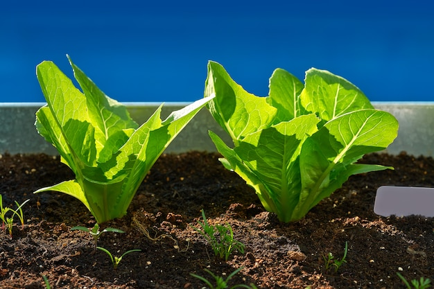 Lettuces seedlings in an orchard urban