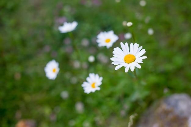 Цветет ромашка после дождя. романтичное одичалое поле маргариток с селективным фокусом. leucanthemum vulgare, ромашки, dox-eye, ромашка обыкновенная.