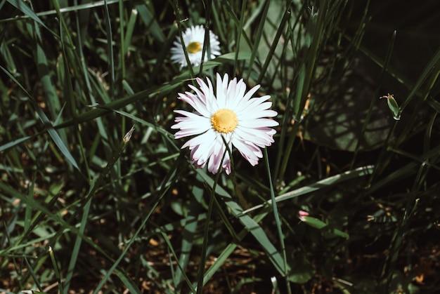 Цветение ромашек. кислота ромашка, leucanthemum vulgare, маргаритки