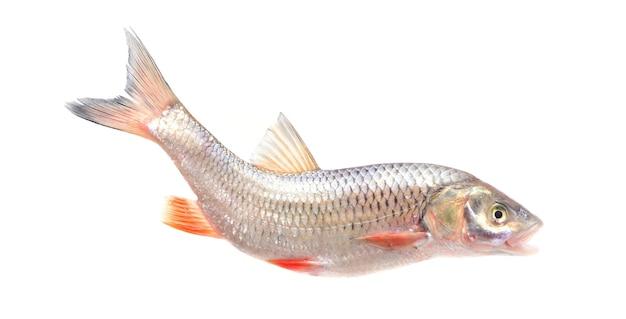 Рыба лейцискус