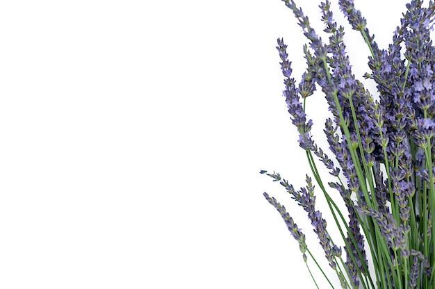 レバンダー、別名レバンデュラ、孤立した紫色の顕花植物、グリーティングカード。高品質の写真