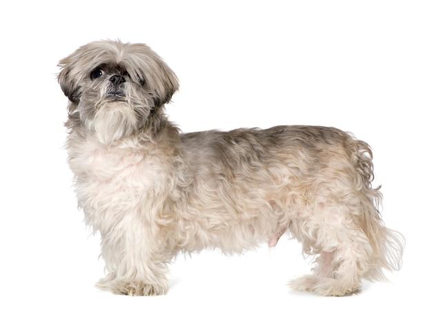 ラサアプソ6ヶ月。分離された犬の肖像画