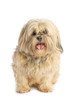 Lhassa apso that pulls the tongue