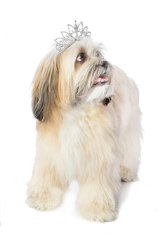 Lhassa apso with crown